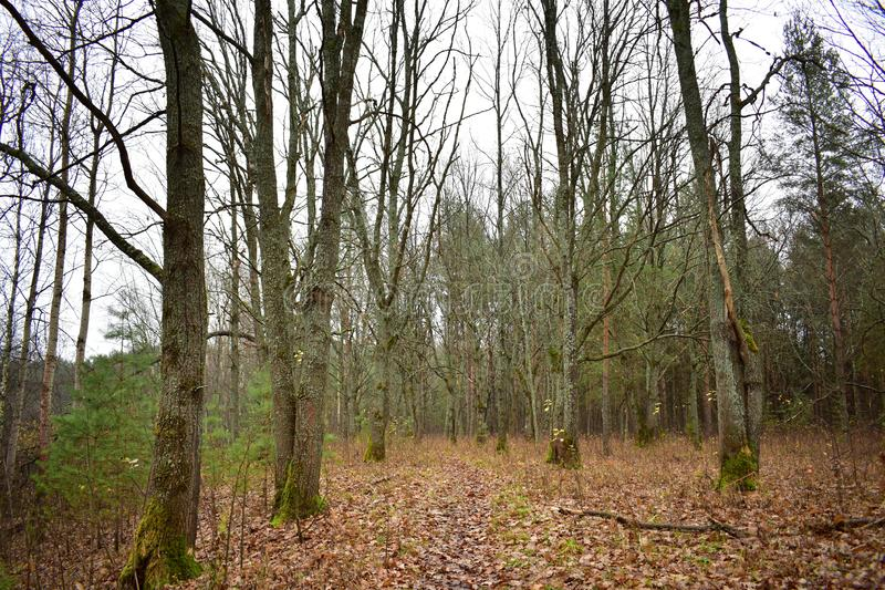 Oak forest grove moisture evaporation forms a haze light fog, leafy path, moss on trees branches, cloudy. Sky royalty free stock photo