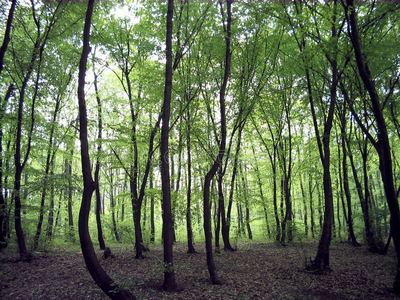 Download Oak forrest stock photo. Image of land, romania, green - 8404986