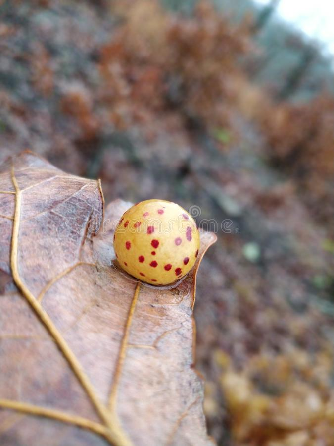 Oak Gall Wasp. Leaf nature royalty free stock photography
