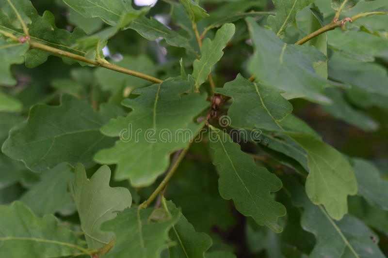 Oak. Green oak leaves in the forest royalty free stock photo