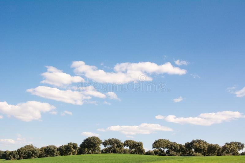Oak grove on a green grass field, under a blue sky. With clouds stock images