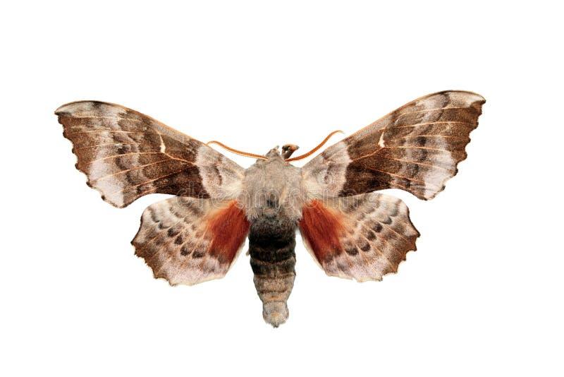 Oak Hawk-moth (Marumba quercus). The Oak Hawk-moth (Marumba quercus) is a moth of the family Sphingidae stock photography