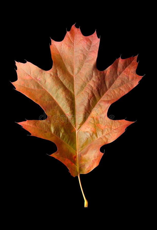 Download Oak Leaf 1 With Clipping Path Stock Image - Image: 24282193