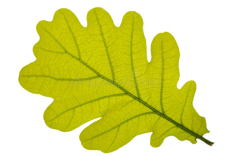 Download Oak leaf stock photo. Image of environment, green, colorful - 19616662