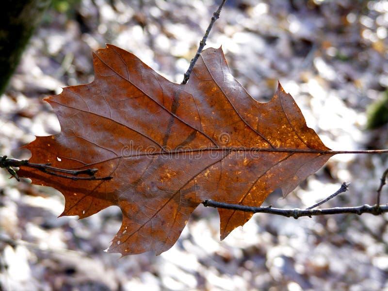 Oak leaf royalty free stock photos