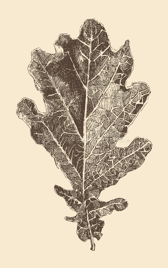 Oak leaf engraving style vintage illustration. Hand drawn vector illustration