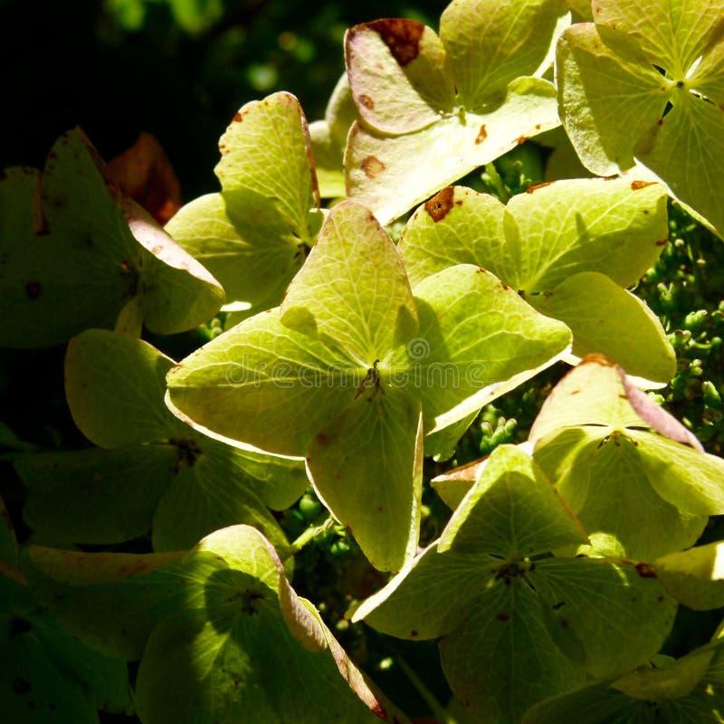 Oak leaf hydrangea royalty free stock photos