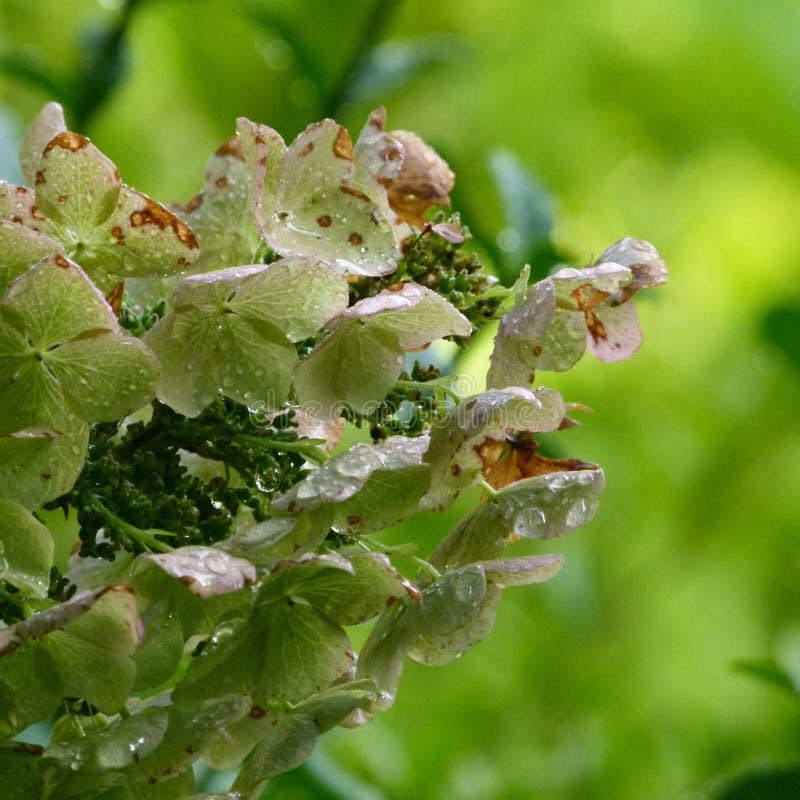 Oak leaf hydrangea stock image