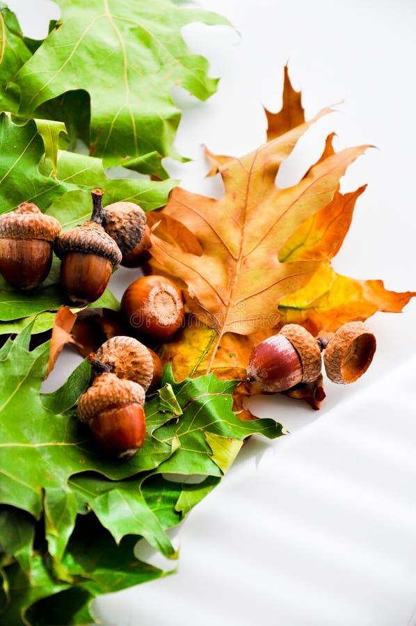 Oak leafs carpet with acorns. Oak leafs carpet in autumn royalty free stock images