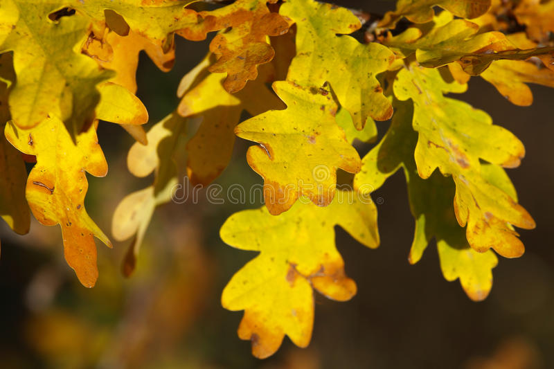 Download Oak leafs stock photo. Image of growing, nutrient, detail - 34985222