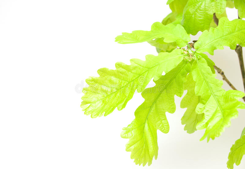 Download Oak leaves stock image. Image of young, branch, fresh - 12919661