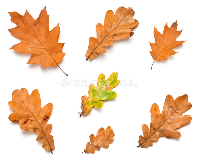 Download Oak leaves stock image. Image of closeup, collection - 25746721
