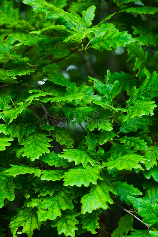 Download Oak leaves stock image. Image of color, fresh, colorful - 5412691