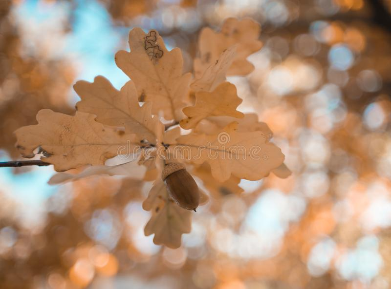 oak leaves acorn close-up bokeh background outdoor forest natura royalty free stock photography