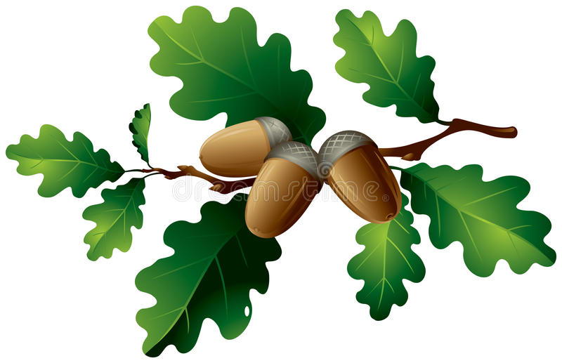 Oak leaves and acorns stock illustration