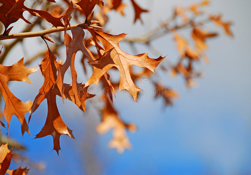 Oak Leaves in Autumn royalty free stock image