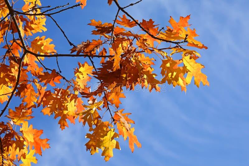 Oak leaves in autumn. Many oak leaves in autumn royalty free stock photos