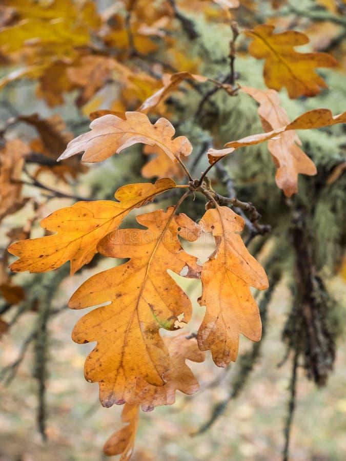 Oak leaves in autumn stock photos