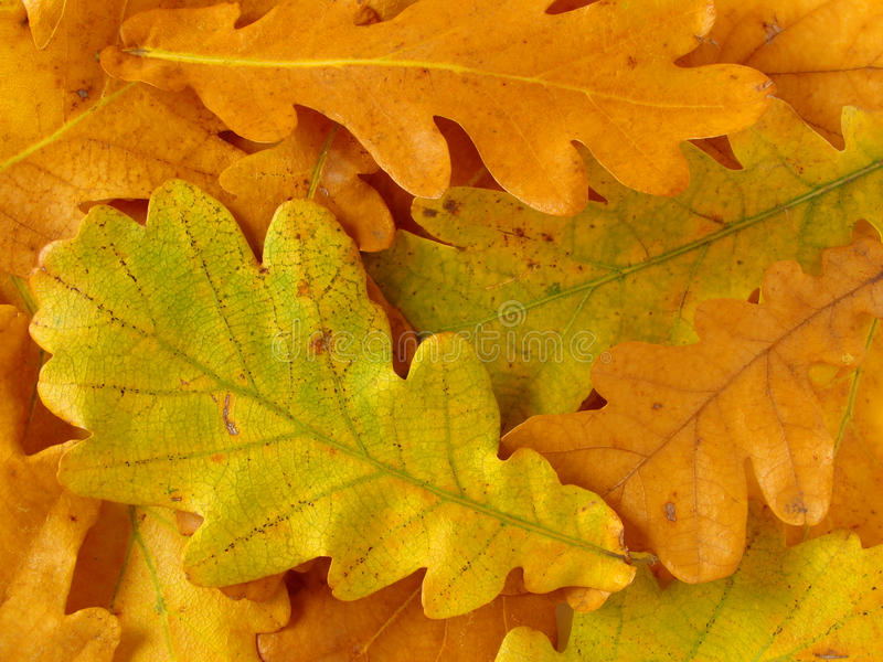 Download Oak Leaves Background Stock Photo - Image: 11117870