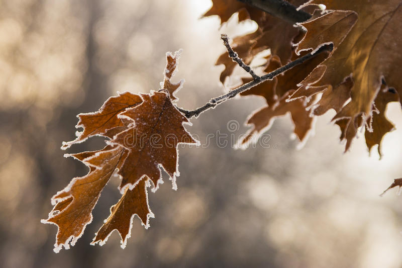 Download Oak Leaves stock photo. Image of fragment, frost, leaves - 83719774