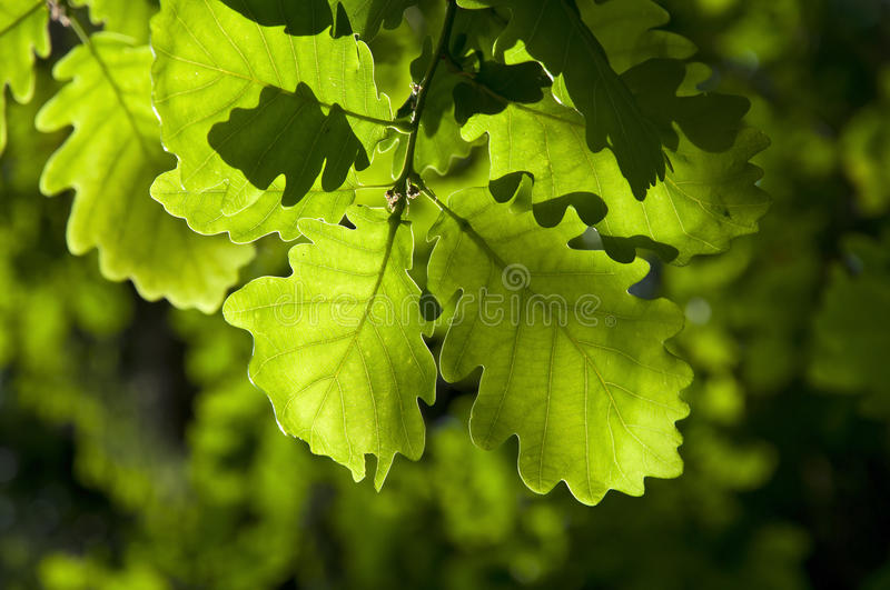 Oak leaves royalty free stock photography