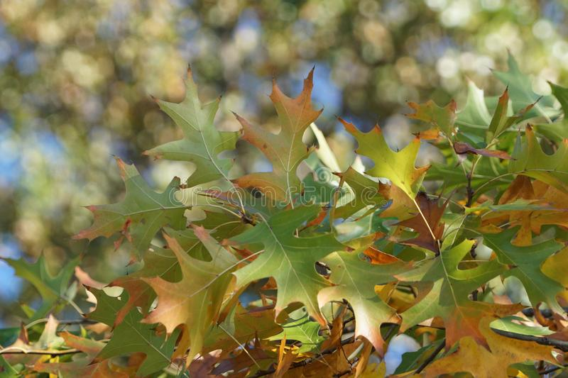 Oak leaves on a tree with blurr. A photograph of oak tree leaves against the green background of more trees showing blurr stock images