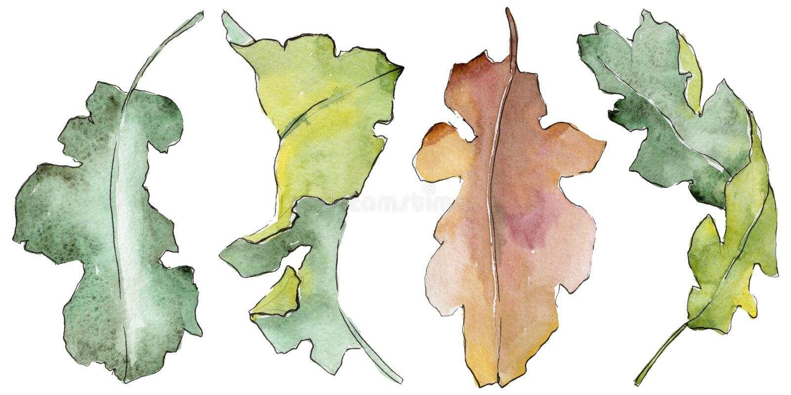 Oak leaves in a watercolor style isolated. vector illustration