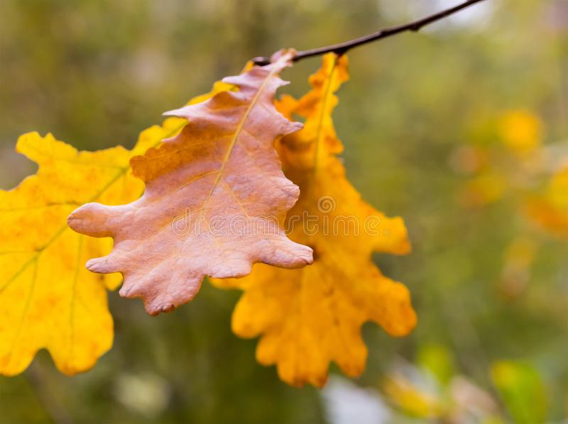 Oak leaves yellow brown autumn design on a blurred background forest flora base stock image