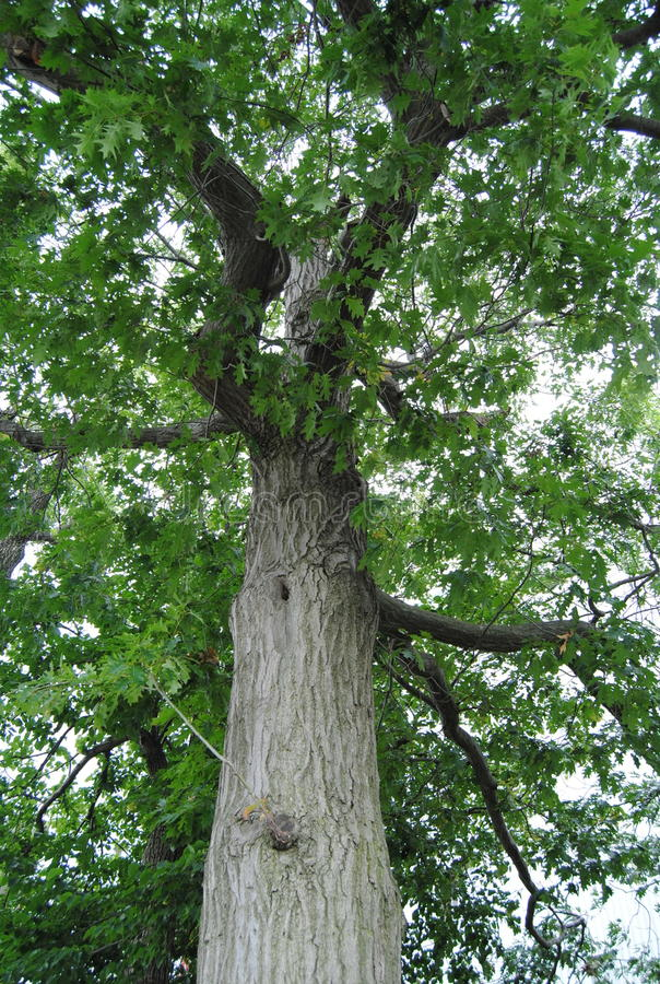 Oak royalty free stock image