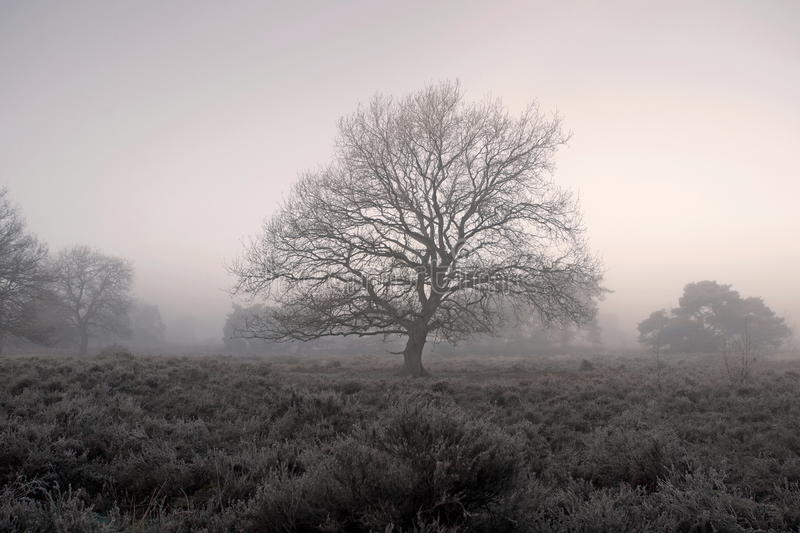 Oak in moorland in the fog stock photography