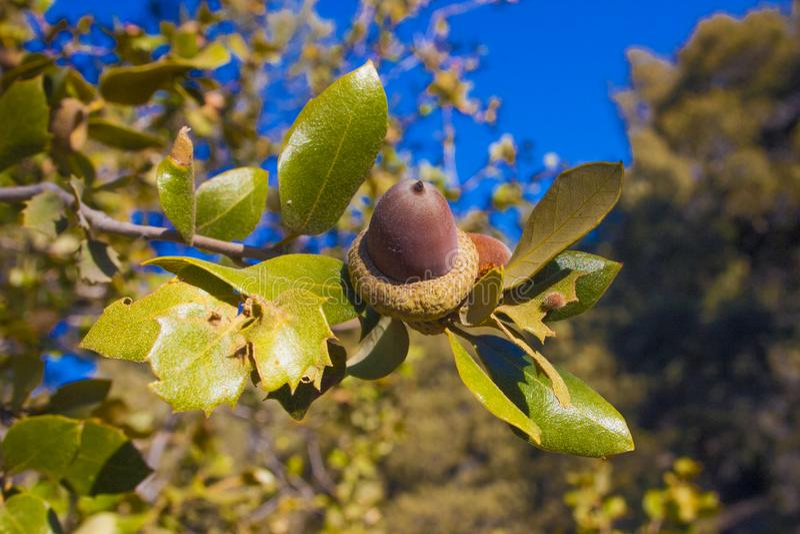 Oak mountain acorns in the Sierra Nevada Mountains. California, USA. The Sierra Nevada is a mountain range in the Western United States stock photo