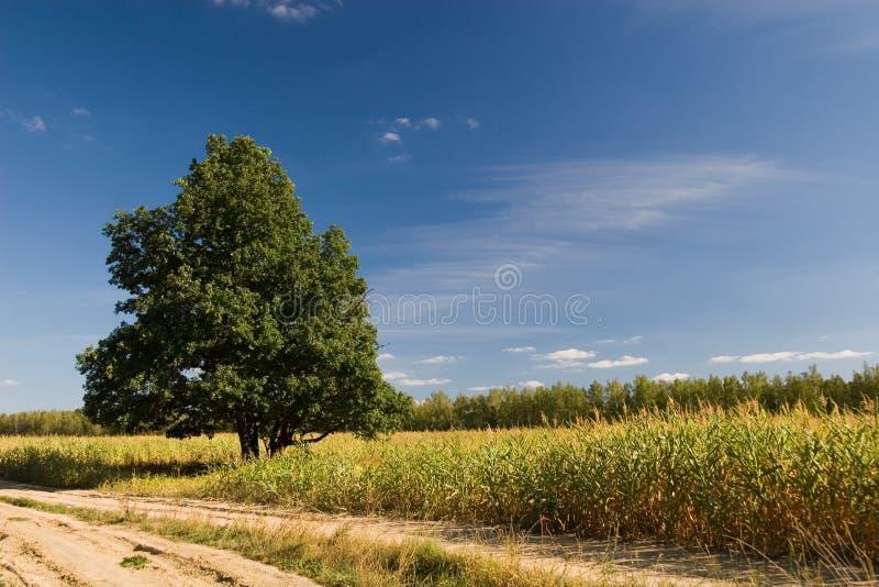 Oak near road royalty free stock photography