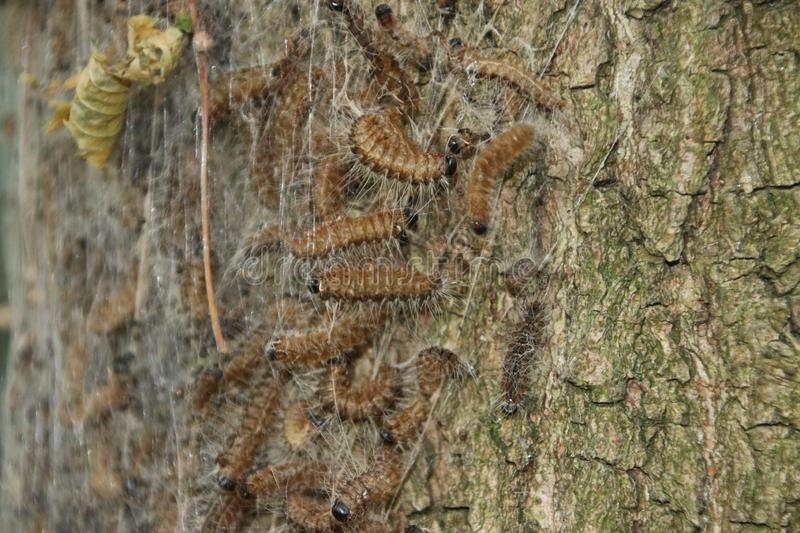 Oak processionary caterpillars in a nest on trees in the Netherlands. Oak processionary caterpillars in a nest on trees in the Netherlands causing problems for stock images