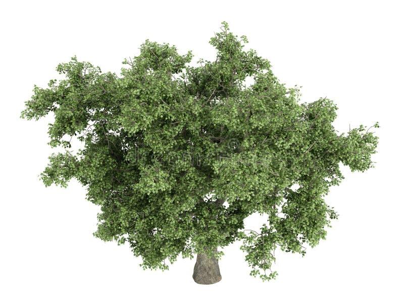 Oak_ (Quercus) ilustração royalty free