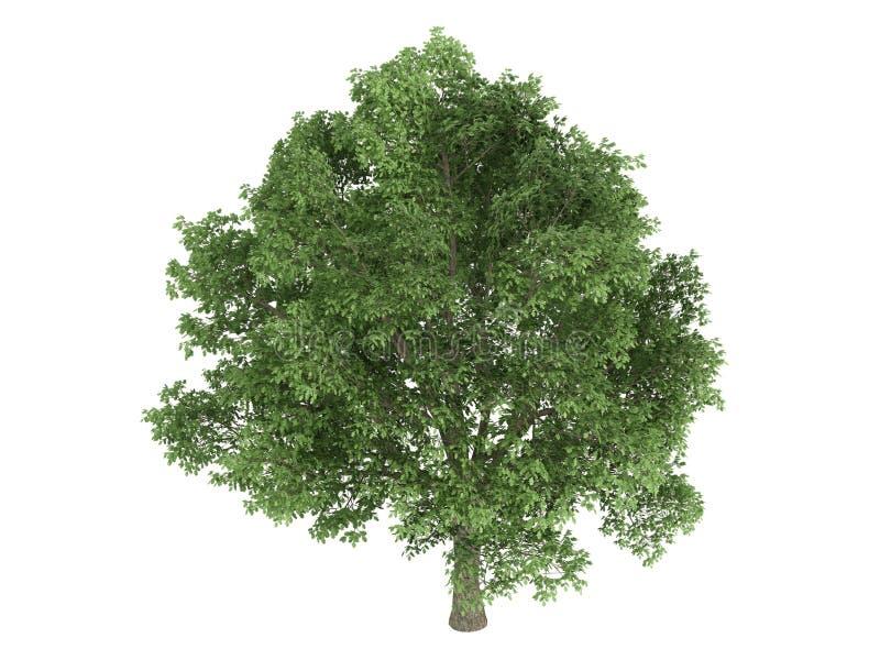 Oak_ (Quercus_robur) ilustração royalty free
