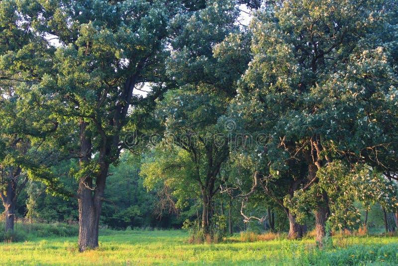 Oak Savanna of Illinois royalty free stock photo