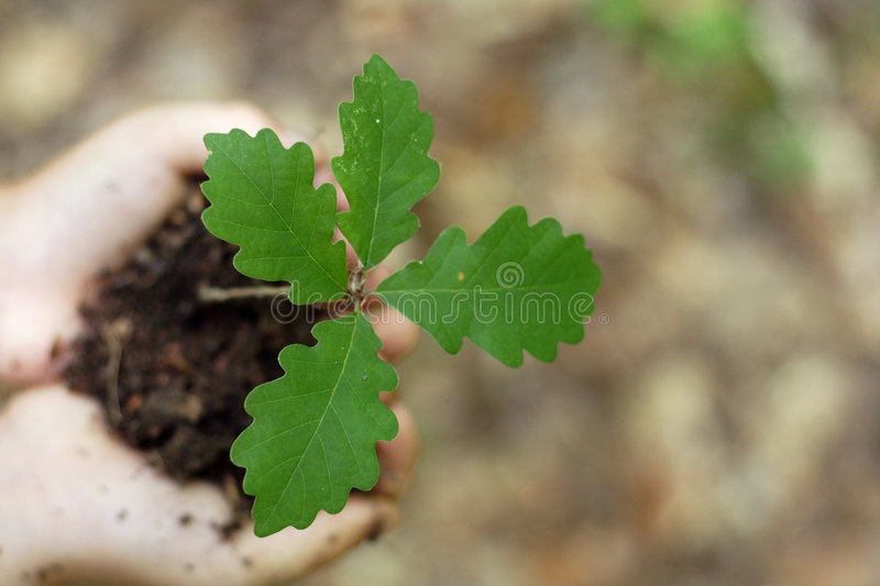 Download Oak seedling stock image. Image of perception, idea, agriculture - 2614291