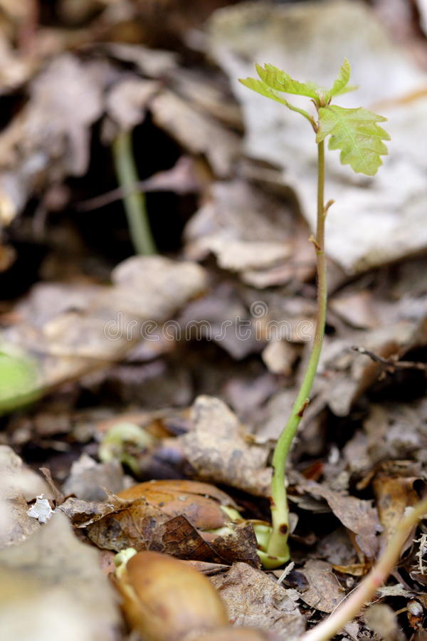 Oak sprout royalty free stock photo