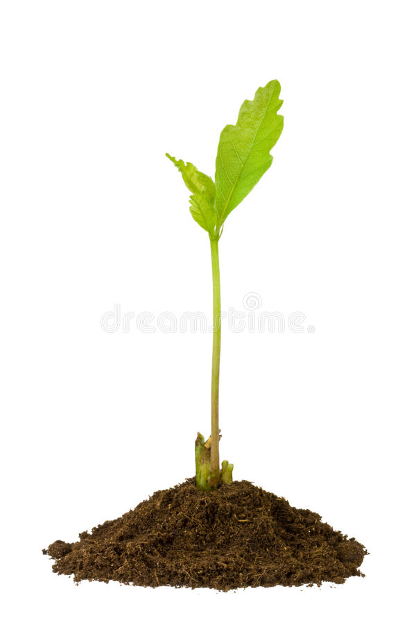 Oak sprout isolated on white stock images