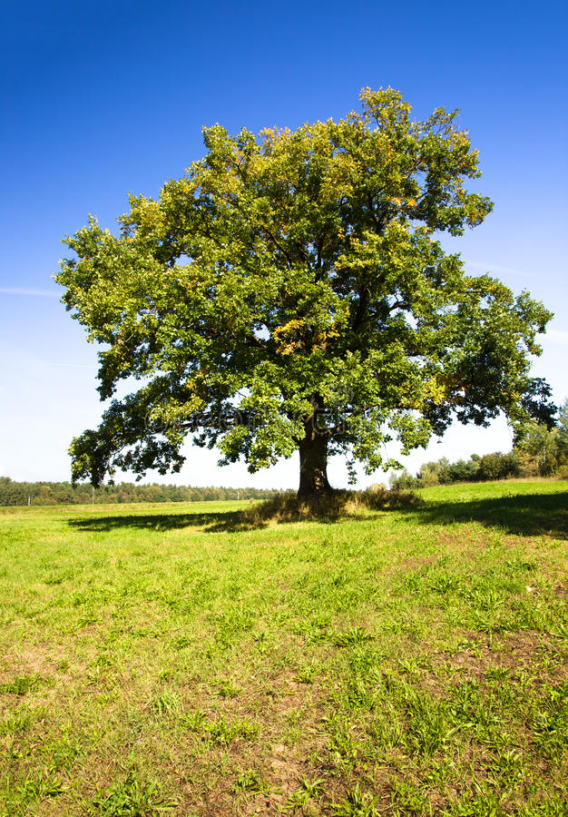 Free Oak (summer) Stock Photos - 22415953
