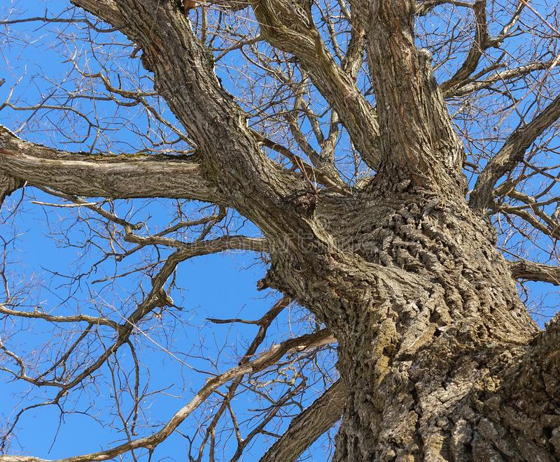 oak Trädstam, nedersta sikt Natur i vintersäsongen mot den blåa skyen Filialer och stammen skapar en abstrakt modell arkivbild