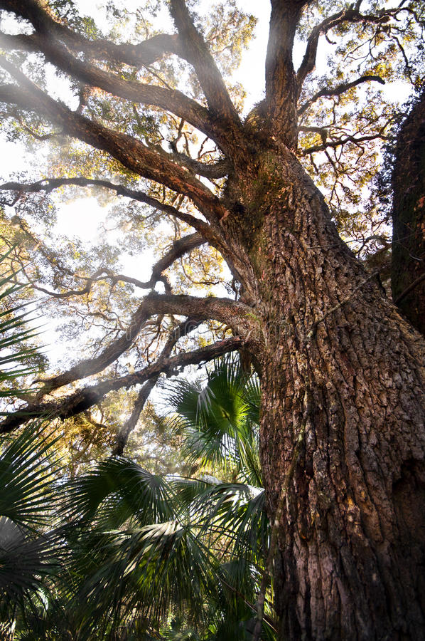 Download Oak tree stock photo. Image of limbs, natural, branches - 13139768