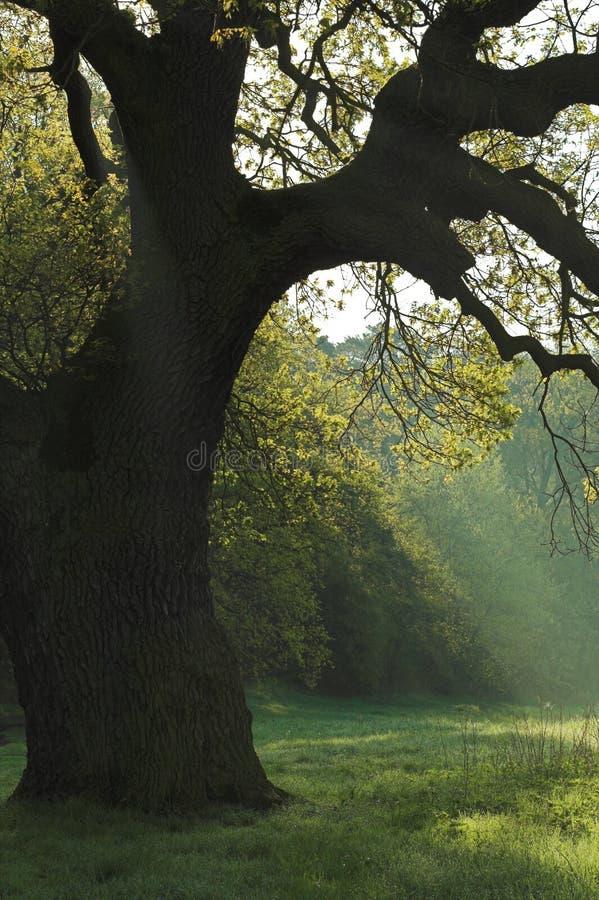 Free Oak Tree Stock Photos - 1439233