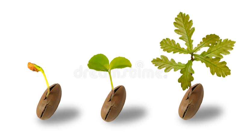 An Oak Tree Stock Photo