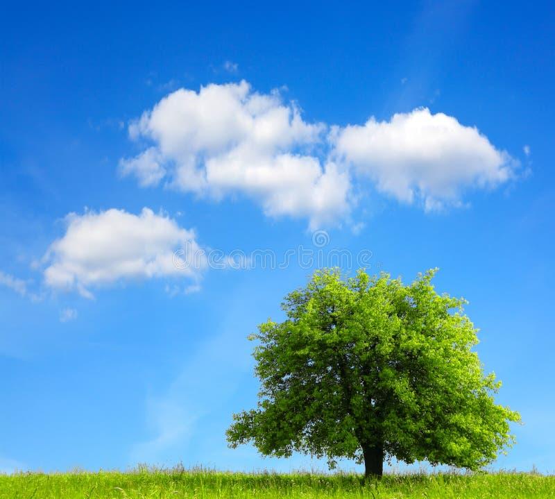 Download Oak tree stock image. Image of fresh, earth, lawn, beautiful - 20192051