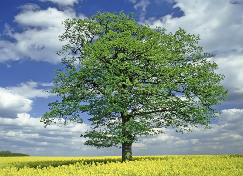 Download Oak Tree stock photo. Image of great, kingdom, country - 5203938