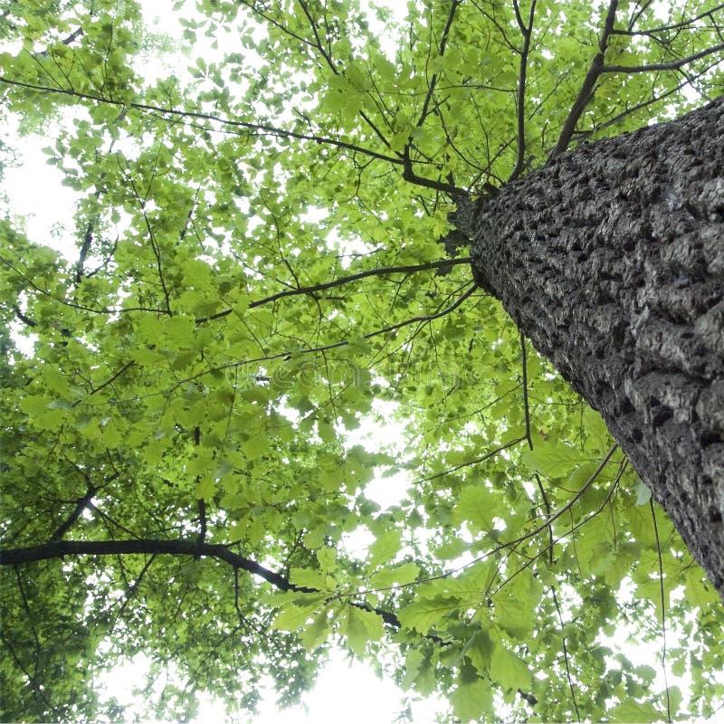 Download Oak Tree Royalty Free Stock Photo - Image: 5713085