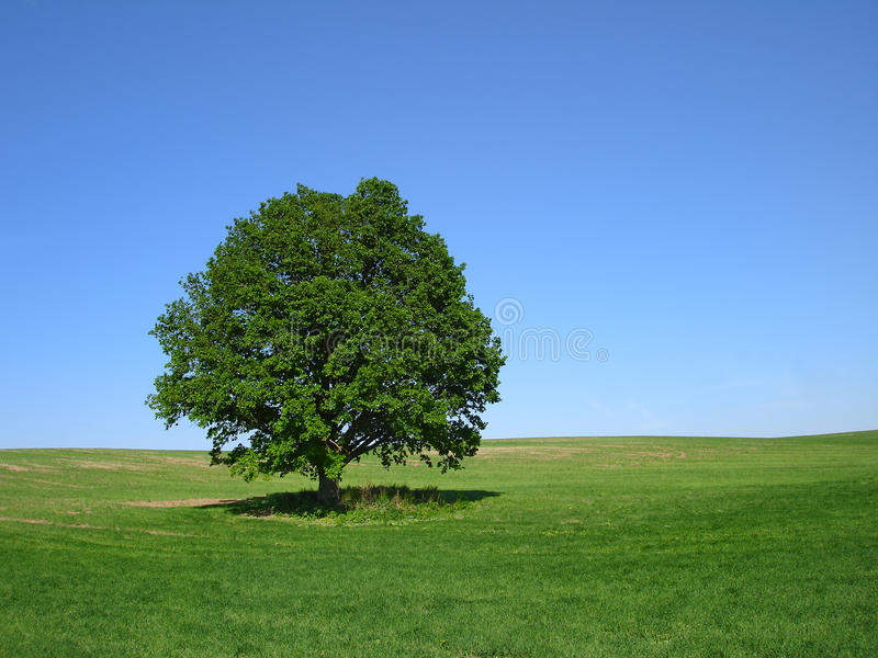 The Oak Tree. Oak tree in summer standing alone in a field against a blue sky stock images