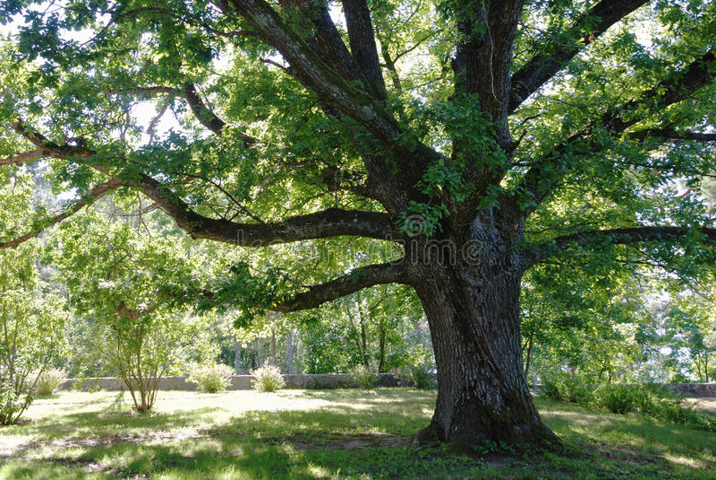 Oak-tree royalty free stock image