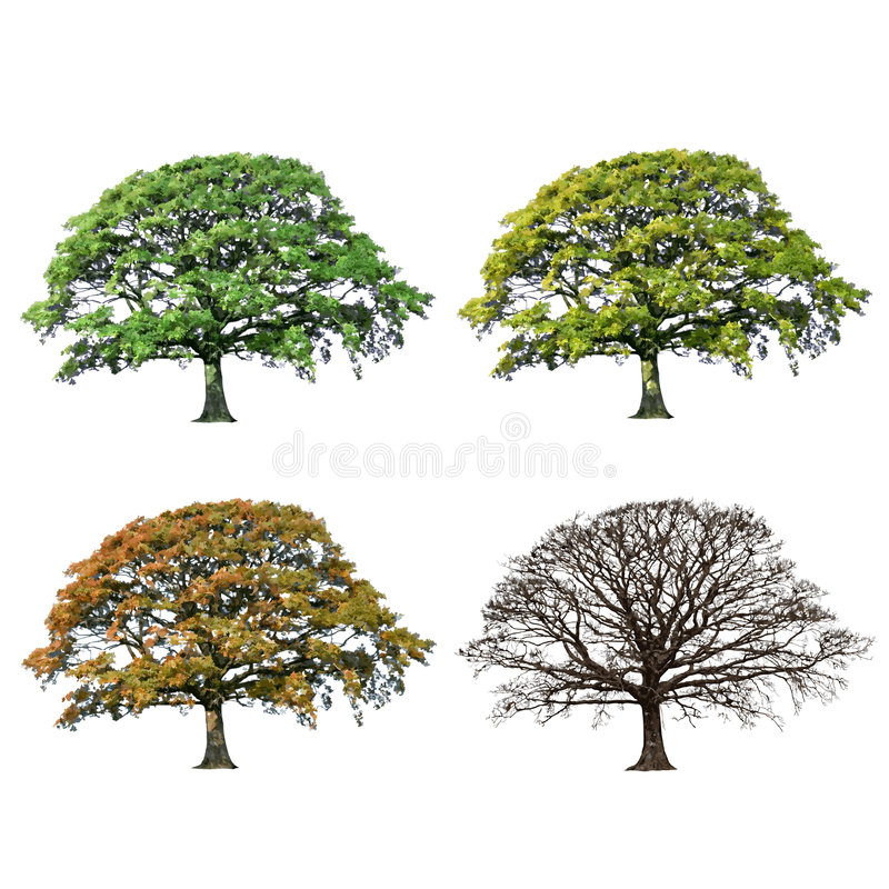 Oak Tree Abstract Four Seasons. Oak tree abstract illustration of the four seasons, spring, summer, fall and winter over white background royalty free illustration